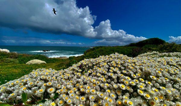 Hermanus Flowers